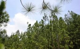 山中茶原 Janda Baik, Bukit Tinggi (Bentong)